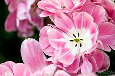 Tulipa  'Aveyron'