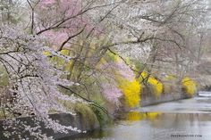 Cherry Blossoms in New Jersey by kwolfinger11