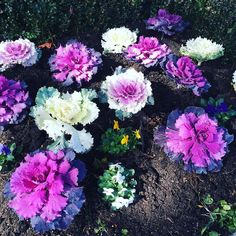This flowerbed filled with oriental cabbage absolutely made my day! Gorgeous purples  #cabbage #orientalcabbage #purple #colour #instahappy #outdoors #foodie #blogger #iddlepeeps #walk #afternoonwalk #vibrant #vegetables #health #wellbeing #family