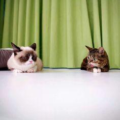 Lil Bub meets Grumpy Cat :) <3