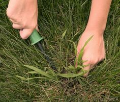 Pull Weeds Effectively Simply Organic Turf Care Lawn