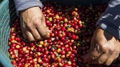 Leyendas sobre el café: el jeque Omar  Exiliado en los montes del Yemen, casi muerto de hambre, el jeque Omar sobrevivió, se dice, gracias... blog sobre el café de Cesar Hinojosa Quiroz