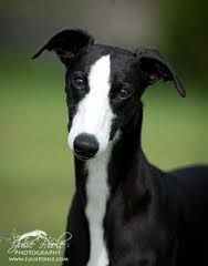 Image result for black and white greyhound