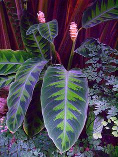 Cheap plant seeds, Buy Quality indoor flower gardening directly from China calathea plant Suppliers: Purple Calathea Plants Seeds Ice Cream Indoor Flowers Garden Decoration Bonsai Pot for Office pieces Unusual Plants, Rare Plants, Exotic Plants, Exotic Flowers, Tropical Plants, Tropical Gardens, Tropical Garden Design, Tropical Backyard, Tropical Landscaping