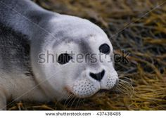 Adorable face of a baby seal up close and personal!