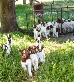 #goatvet likes this website of a Victorian (Australia)  Boer Goat breeder that sells meat online