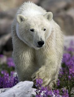 Polar Bear in Hudson Bay, Canada Bear Photos, We Bear, Bear Art, Cute Baby Animals, Wild Animals, Animal Sculptures, Whippet, Spirit Animal, Pandas