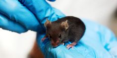 Scientists have extended the lifespan of mice by 25% with a breakthrough new treatment (killing a certain type of cell body-wide) while slowing age-related diseases like cataracts and heart disease. Now a new biotech firm wants to move this over to humans.