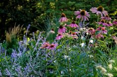 Purple coneflowers, Russian sage and ornamental grasses bloom through July and August.