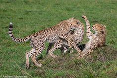 Cheetah Cubs Playing With Mom at Masai Mara, Kenya. (Photography by Andrew Schoeman).