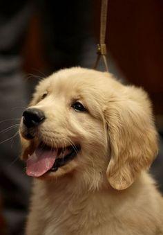 Golden retriever puppy... - Jenny Ioveva - Google+