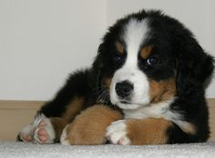 Bermese Mountain Dog -this looks so much like our Daisy!