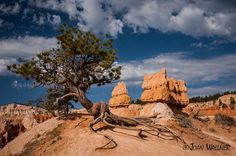 Amazing cedar tree roots in the Bryce National Park landscape. Bryce National Park, National Parks, Park Landscape, Cedar Trees, Tree Roots, Monument Valley, Wall Art, Amazing, Travel