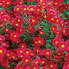 Crimson Brocade Michaelmas Daisy (New England Aster), perennial that blooms well into the fall
