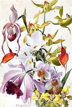 1906Louis Fairfax Muckley (English, 1862-1926) ~Orchids