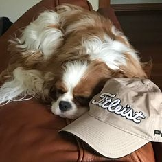 I thought dad wouldn't go to golf if I 'borrowed' his favourite golf hat ... I was wrong ⛳️#missingdaddy #golf #titleist #teddyturner #theodorable #ckcs #ckcspuppy #cavalierkingcharlesspaniel #cavalier #cavlife #cavalierkingcharles #cavaliersofinstagram #cavalierworld #itsacavthing #pupstagram #puppiesofinstagram #puppylove #puppygram #puppylife #puppyoftheday #dogofthday #dogsofinstagram #blenheimcavalier #blenheimpuppy #cavstagram #cavstyle #cavalierslove_feature
