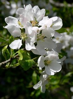 Oregon Crabapple (Malus fusca)
