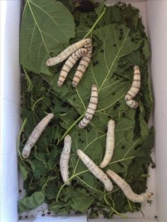Silkworms -- a special bearded dragon treat