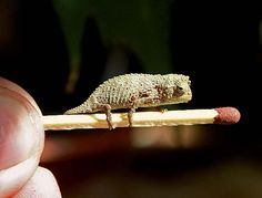 """A PYGMY CHAMELEON"":    This just-hatched bearded pygmy chameleon, Rieppeleon brevicaudatus , may someday outsize the matchstick it's perched on—but just barely"