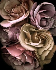 Floral photography.  Fragancia Roses II 8x10 Print.  Shades of lavender and gold roses, flower photography, rich color.