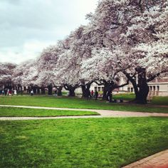UW Cherry Blossoms | Spring 2014 (Photo by Melissa Pilling)