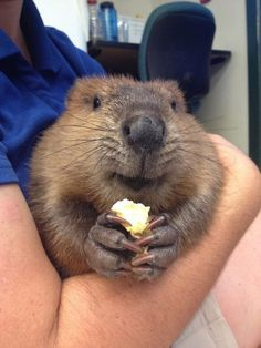 They take snacking to the next level of cuteness. | 19 Reasons Baby Beavers Are The Most Underrated Woodland Critters