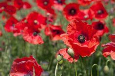 Φτιάχνουμε ξεχωριστό σιρόπι και ζελέ από παπαρούνα - www.olivemagazine.gr Jello, Poppies, Seeds, Flowers, Plants, Gelatin, Poppy, Plant, Royal Icing Flowers