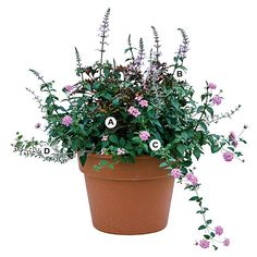 Add even more interest to your container plantings by using them to attract butterflies. Here, butterfly favorites, including lantana, will appeal to you as much as they do your winged visitors.                                          A. Coleus (Solenostemon 'Kiwi Fern') -- 2  B. Cat's whiskers (Orthosiphon stamineus) -- 3  C. Purple trailing Lantana -- 3  D. Silver thyme (Thymus 'Argenteus') -- 1                                          More Great Plants for Butterflies