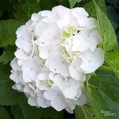 This daughter of Endless Summer hydrangea blooms on both new and old wood. Round white blooms about 6 inches wide age to a pretty pale pink or Carolina blue, depending on the soil pH. Very strong stems keep the large white mopheads upright. Name: 'Blushing Bride' (Hydrangea macrophylla 'Blushing Bride') Grow in part sun and afternoon shade. Grows best in evenly moist, well-drained soil. 3 to 6 feet tall and wide