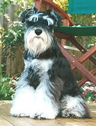 spring kennels miniature schnauzers - Google Search