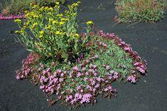 la flora dell'etna | EtnaGuide Escursioni Guide Etna Sud4116 × 2730 Saponaria / Senecio dell'Etna e Saponaria sicula