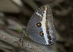 Borboleta (Dasyophthalma geraensis): espécie ameaçada de extinção. Endangered specie.