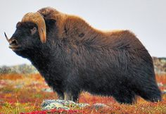 Great Canadian Wildlife Adventures - See the great caribou migration, wild wolves, polar bears, musk-oxen herds & Northern Lights in Canada's Far North! Weird Creatures, All Gods Creatures, Wild Animals Pictures, Animal Pictures, Beautiful Creatures, Animals Beautiful, Wild Bull, North American Animals, Musk Ox