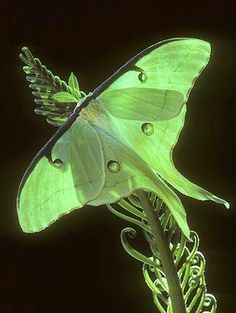 Green moth.