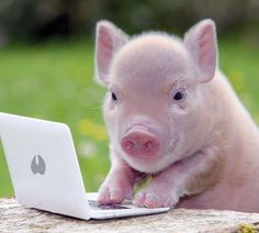 Studying for her piggy obedience test. Cute Baby Pigs, Cute Piglets, Cute Babies, Baby Piglets, Cute Funny Animals, Funny Animal Pictures, Cute Baby Animals, Small Pigs, Pot Belly Pigs