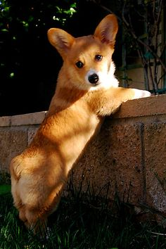 Oh! Little Bear! | Willow, a cute Pembroke Welsh Corgi puppy, via Flickr - Photo Sharing! ©Jeff Dillon.