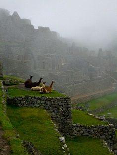 Alpacas in the mist - Machu Picchu, Peru
