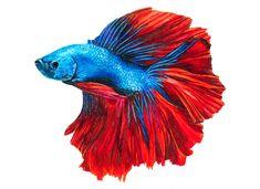 Siamesischer Kampffisch mit Touch Markern gezeichnet!  #fisch #drawing #marker #animal #real Love Drawings, Animal Drawings, Learn To Draw, Gouache, Marker, Creatures, Watercolor, Illustration, Animals