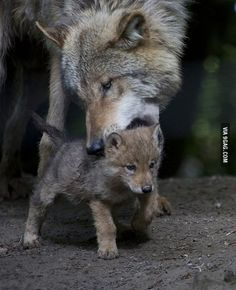 Wolf pup learning how to walk