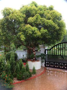 Mango tree in the garden. Home Garden Design, Backyard Garden Design, Backyard Landscaping, Home And Garden, Backyard Designs, Dream Garden, Village House Design, House Front Design, Village Houses