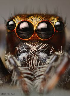 Macro photo of a jumping spider, taken by Adolf Abi-Aad in Taiwan Eye Photography, Abstract Photography, Animal Photography, Fotografia Macro, Jumping Spider, Macro And Micro, A Bug's Life, Beautiful Bugs, Bugs And Insects