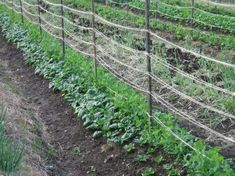 Intercropping - companion planting