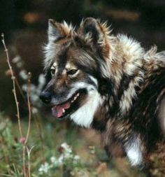 Native American Dog- I love these dogs, I think they are absolutely beautiful. I want one!