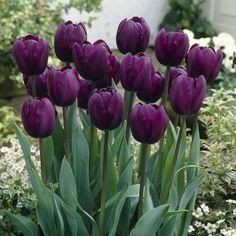 Tulip Recreado