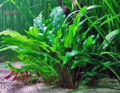 Learn how to care for and grow the hardy and popular Cryptocoryne Wendtii aquatic plant. From propagating to aquascaping, you will find the information you need here.
