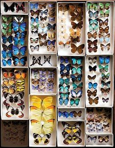I hope those arn't real 😬😞 The Butterfly Project : Add personality to your home with DIY butterfly frames. – The Interior Perspective Butterfly Project, Butterfly Frame, Butterfly Bedroom, Beautiful Bugs, Beautiful Butterflies, Carnegie Museum, Historia Natural, Cabinet Of Curiosities, Nature Collection