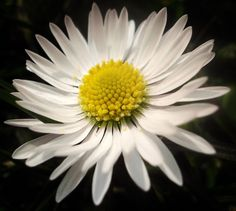 Digitale Fotografie, Makro-Aufnahme, digital bearbeitet, Gänseblümchen