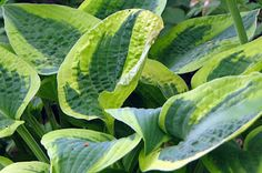 Hostas - Hostas are edible by humans - The parts eaten and the manner of preparation differ depending on the species; in some cases it is the shoots, others the leaf petiole, others the whole leaf. Younger parts are generally preferred as being more tender than older parts. Flowers are also edible.