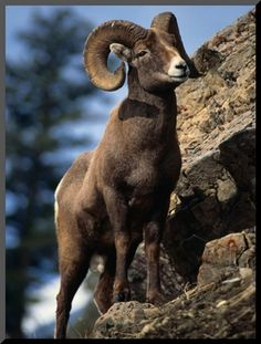 Rocky Mountain Bighorn Sheep on Side of Mountain, Yellowstone National Park, USA    by Carol Polich