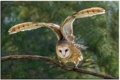 Barn Owl imitates a DeLorean! by Conrad Tan on 500px